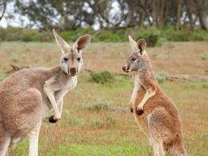 kangaroos-1563624_1280