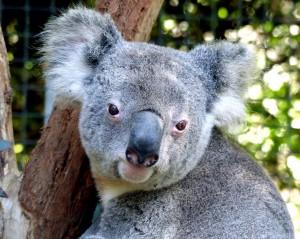 koala-1757179_1280
